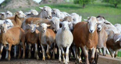 Катумская овца